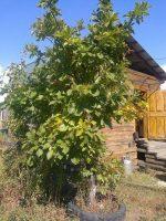 Как вырастить дуб из саженца – Как вырастить дуб из желудя и саженца в домашних условиях